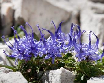 20 Phyteuma hemisphaerica, Alpine Plant Seeds