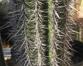 Rare Saguaro Cactus (Fully Rooted)