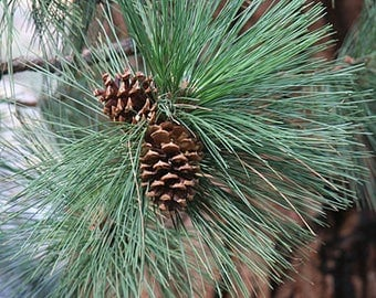 TreesAgain Potted Ponderosa Pine Tree - Pinus ponderosa - 18 to 24+ inches