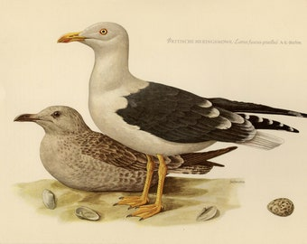 Vintage lithograph of the lesser black-backed gull from 1953