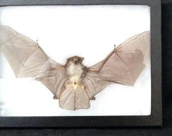 Real Grey Woolly bat