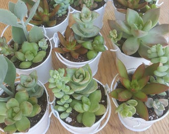 Free shipping 12 White Pail Succulent favors