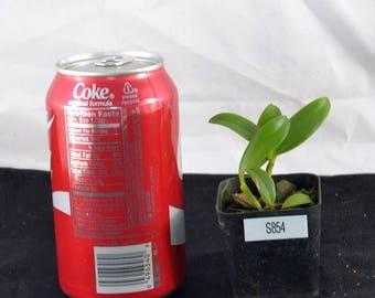 Bin Cattleya Bicolor Albescens 'ex. Tchong' X Self 2'' Pot S854 ( So-208 )