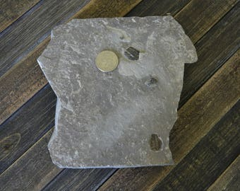Real Trilobite Death Plate - Fossils by Kids!