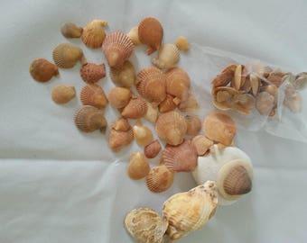 Eco Scallop Shells Bulk/Shells Jewelry Making/Shells Home Decor/Aquarium decor/DIY