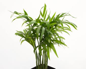 Bonsai Terrarium Miniature Palm Neanthe Bella, Baby Palm Tree, Succulent Terrarium Plants Tropical Vivarium Plant, House Plant Indoor Plant
