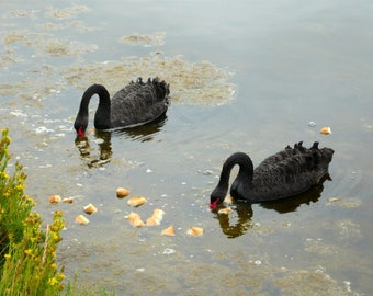 Black Swans at Ars in d (Island)