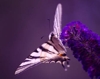 Butterfly in shades of purple 20 x 30 poster