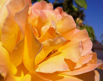 Digital Photo - Yellow Rose