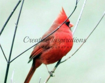 Cardinal perched up on a branch