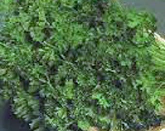Parsley seed,dark green italian , heirloom, organic, non gmo, 50+ seeds,
