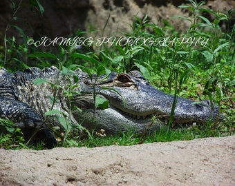 8x10 Print of an Alligator