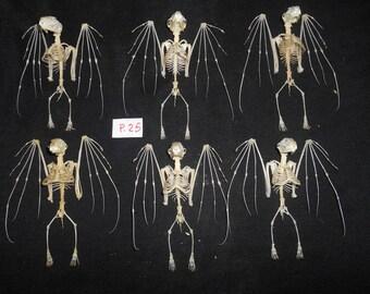 Lesser Short Nosed Fruit Bat Cynopterus Brachyotis Skeleton 6 Pcs