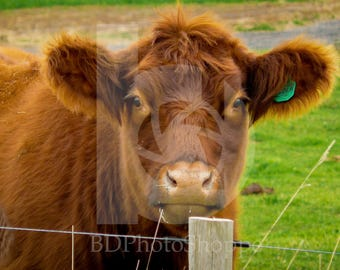 Brown Cow on a Farm | Cow Photo Art | Cow Lover Gift | Fine Art Photography | Personalization | BDPhotoShoppe | Home Office Decor