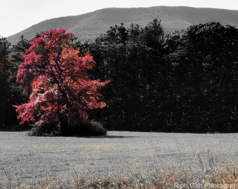 Pink Tree in Field