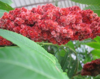 STAGHORN SUMAC  naturally DRiED FLOWER Bunches