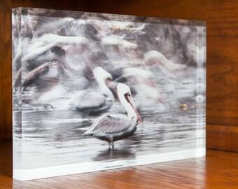 Pelicans in Flight on Acrylic Block