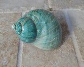 Turbo Shell -  Jade Turbo Shell - Natural Turbo - Polished Jade Seashell - Polished Jade Turbo - Pearlized Shell - No. 213