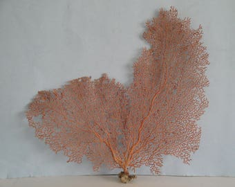 "13.2"" x 12"" Pacifigorgia Red  Sea Fan Seashells Reef Coral"