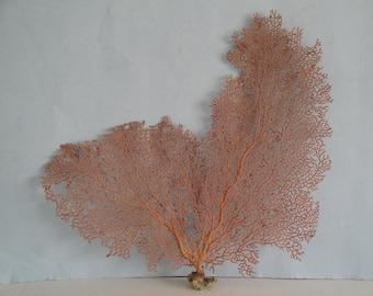 "13.2"" x 12"" Pacifigorgia Red  Sea Fan Seashells Reef Coral"
