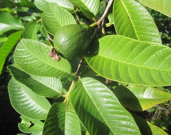 Freshly dried guava leaves