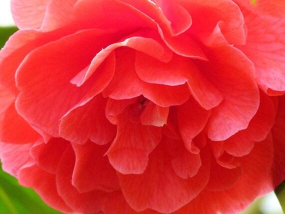 rose in bloom pdf download