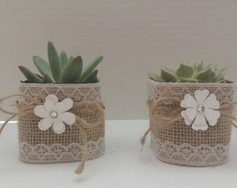 Beautiful Live Succulent Plants