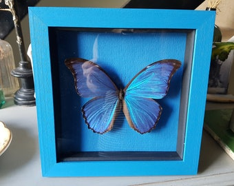 Gorgeous framed taxidermy butterfly