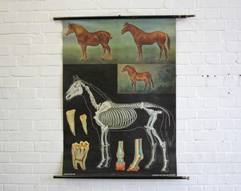 Mid Century Anatomical Chart Of The Horse Circa 1960s