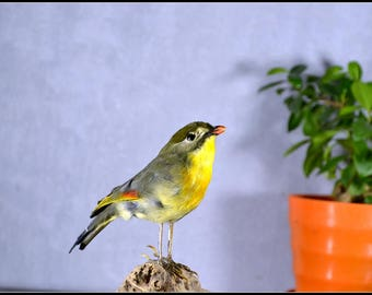 the real Taxidermy Leiothrix ,display, home decoration,free shipping to the worldwide
