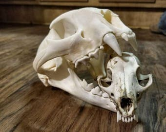 Real Animal Skull, Gray FOX, Weird Taxidermy, Small Skulls; Vintage Pagan Decor Home Decor, Art/Craft Supplies. Natural Taxidermy.