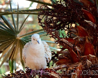 Tropical Dove photograph white feathers bird rustic palm tree Instant download photo peace symbol photography nature wildlife animal art