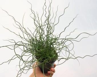 12.99 SALE!  RARE Juncus Effusus Spiralis Plant, Corkscrew Rush, Twister Arrows Succulent House Plant Curly Grass Juncus Filiformis Spiralis