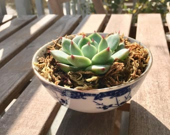 Vintage Blue and White Japanese Rice Bowl with Live Succulent Plant