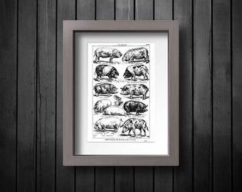 Engraving of Pig Breeds