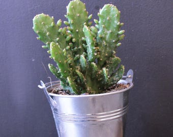 Potted succulent in miniature bucket