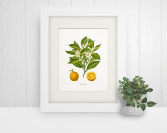 Vintage Oranges Botanical Print, Wall Art Giclee Print