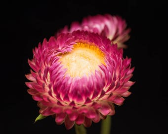 Flower Print, Nature Photography, Bright Pink, Yellow Wall Decor - Print for Walls, Strawflower Photograph, Floral Artwork, Photo of Flowers