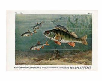1900 fish perch original antique ocean sea life print