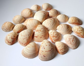 Cockle shells, seashell collection, large shells, craft supply seashells, bulk lot of 23, collectible shells, beach cottage decor