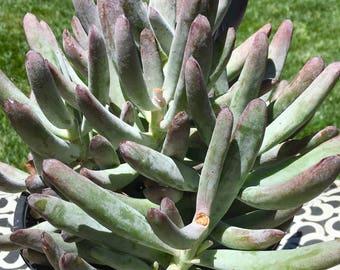 Succulent Plant Cotyledon White Sprite Succulent Purple Blue Tones