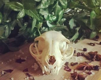 Cat Felis Catus Skull with Jaw Taxidermy Specimen, Real Animal Bone NOT RESIN SKU1