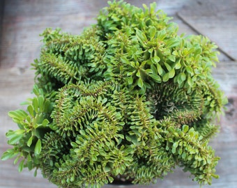 """Crested Euphorbia erythraea cristata 8"""" Pot"""