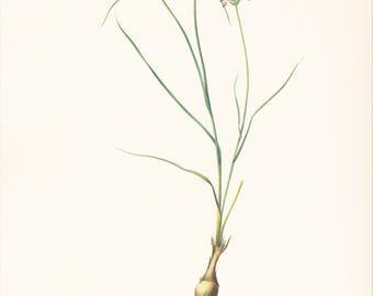 allium pale garlic Mediterranean onion vintage botanical print Pierre-Joseph Redouté garden gift for gardener cottage decor 8.5 x 12 inches