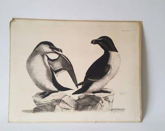 P. J. Selby Razor Bill Print