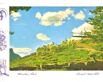 1955 - MOUNTAIN GOAT - in CANADA, Alberta or British Columbia's mountains- very nice Drawings- Vintage colorful postcornercard- slight mark