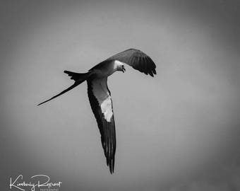 Swallow Tailed Kite in Flight