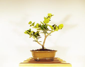 Dwarf Natal Plum Bonsai in a tan clay pot. This bonsai is easy to care for.  Will produce starshaped white flowers!