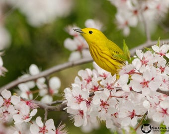 "Warbler & Blossoms - Yellow Warbler - 10""x14"" Canvas Photo Print"