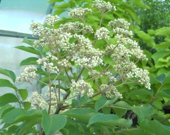 Bee Tree, Tetradium daniellii, 50 seeds